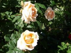 3 ROSES DE MON JARDIN.JPG