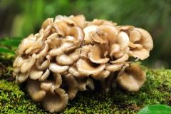 champignon,complément alimentaire,shiitake,maitake,cèpe,secondé,mandorla,agaric,girolle,morille,mycothérapie